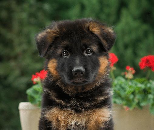 karmy-proformance-wicko-szkolenie-psow-owczarek-niemiecki-szczeniak