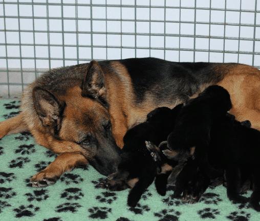 karmy-proformance-wicko-szkolenie-psow-owczarek-niemiecki-szczeniaki