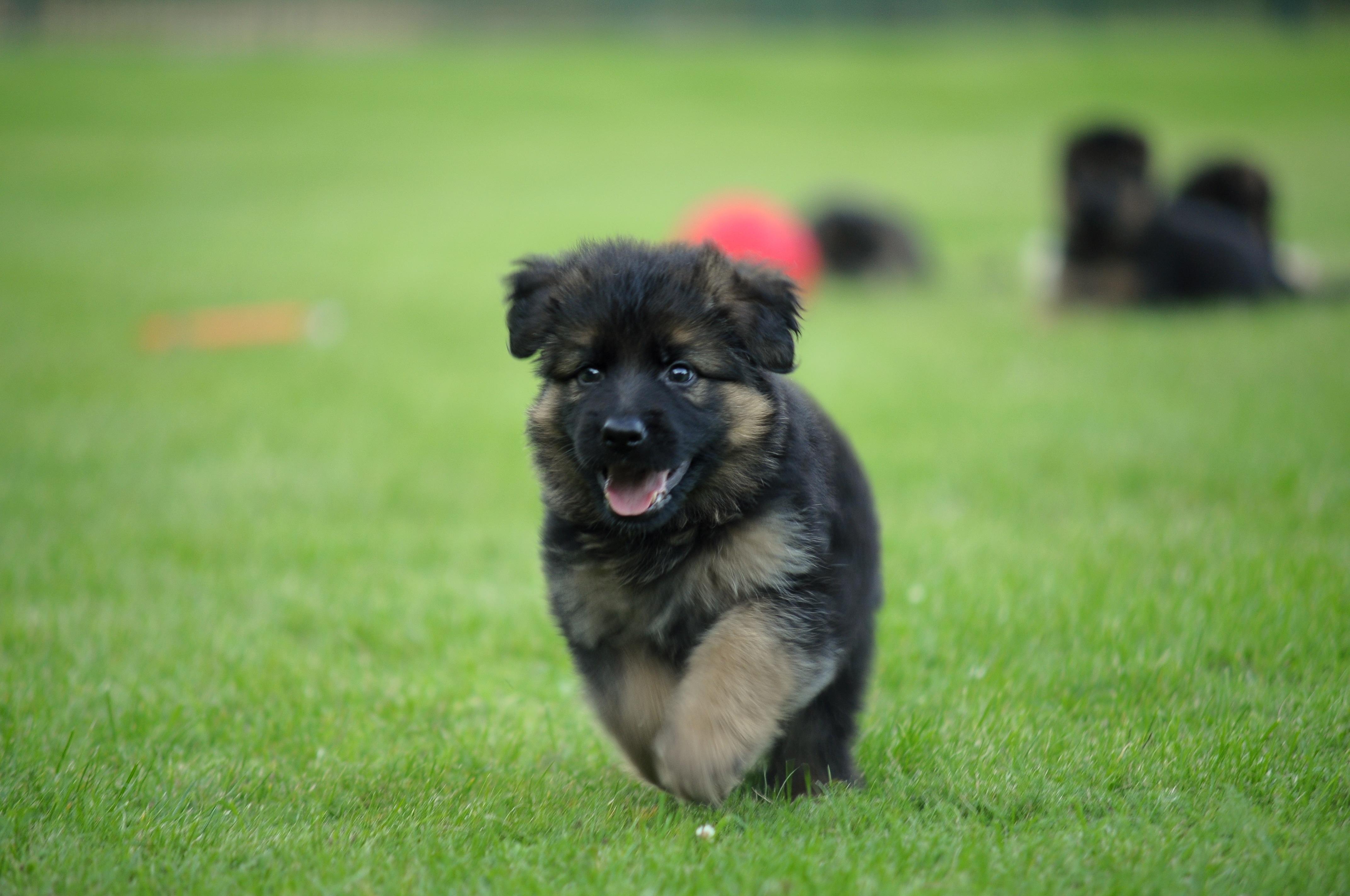 karmy-proformance-wicko-szkolenie-psow-owczarki-szczeniak-w-biegu